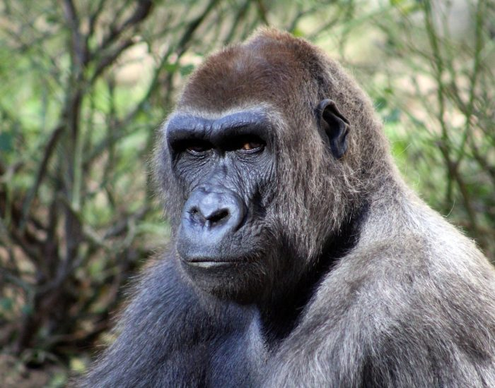 ape shift